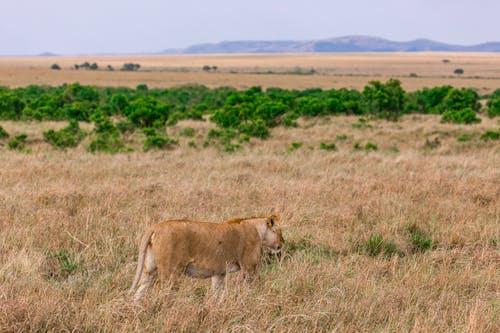 Wild lioness walking on vast grassy lawn in natural habitat in savanna in daylight
