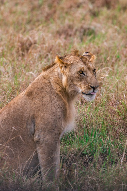 Young graceful lioness sitting on verdant grassy terrain and looking away attentively in natural habitat