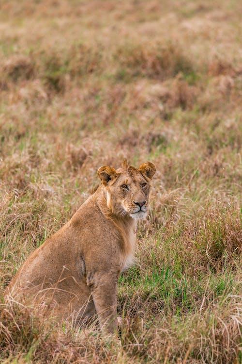Calm lioness sitting on vast grassland