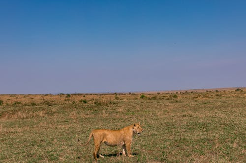 Young lioness standing on grassy meadow