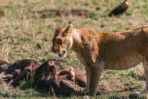 Wild lioness eating prey in savanna