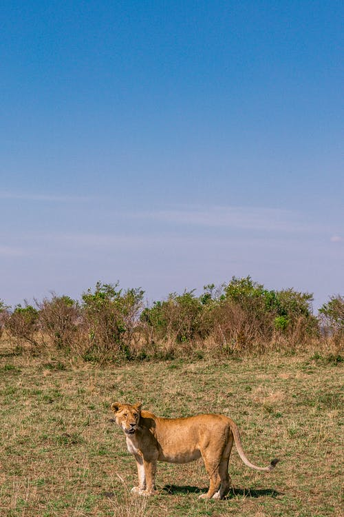 Full body graceful wild lioness standing on vast grassy meadow in natural habitat on sunny day