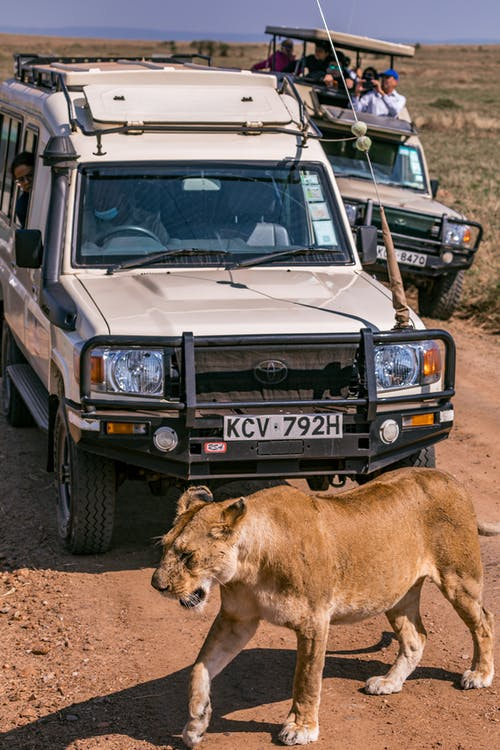 Graceful lioness walking on dusty rural road near SUV cars with unrecognizable tourists during safari trip
