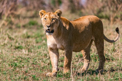 Attentive adorable female lion standing on dry grassy terrain in African savanna on sunny day