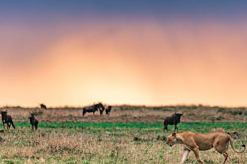 Lioness lion preparing to attack African antelopes under sundown sky
