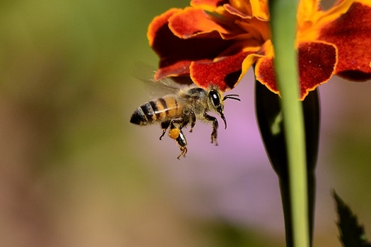 Honey Bee on Red and Yellow Flower during Daytime