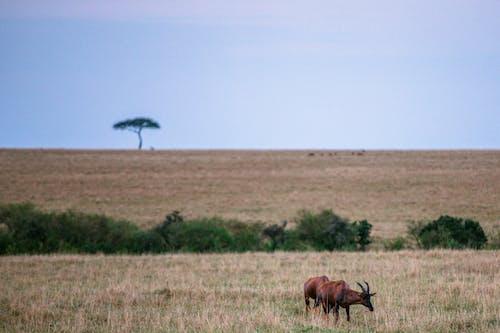 Základová fotografie zdarma na téma Afrika, antilopa, bez oblačnosti