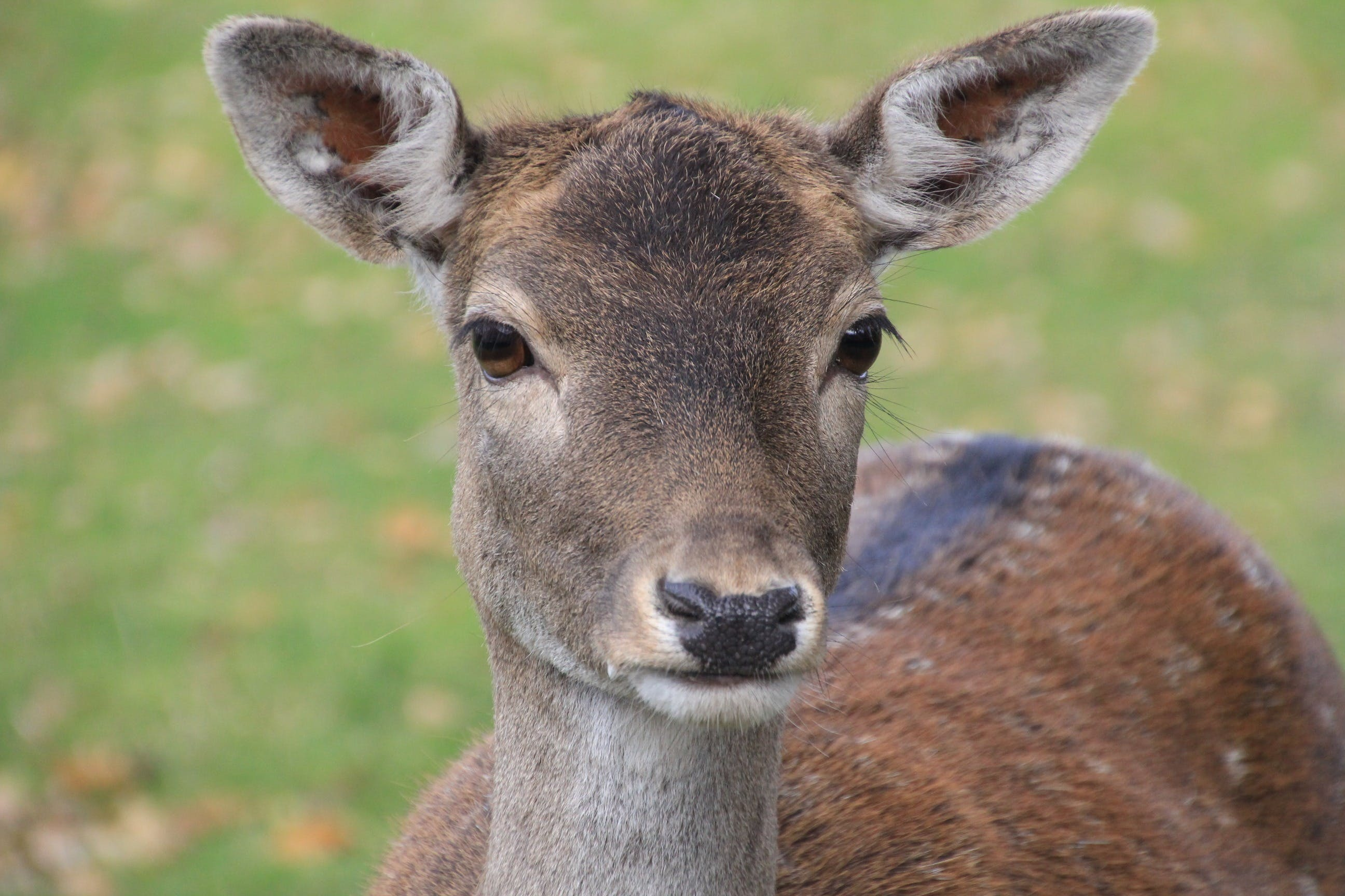 animal, close-up, deer