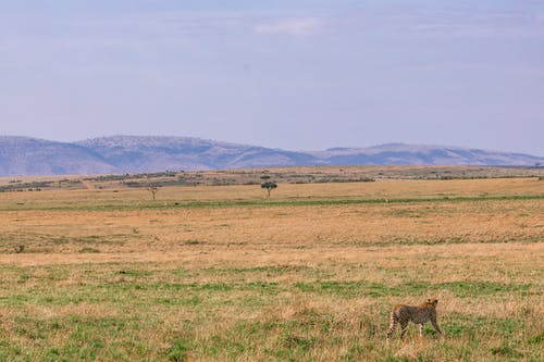 Side view of wild peaceful Asiatic cheetah walking along dry savanna near mountains against blue sky on sunny day