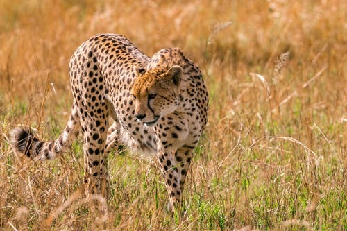 Dangerous cheetah with spotted fur and fluffy tail standing on grassy field in savanna