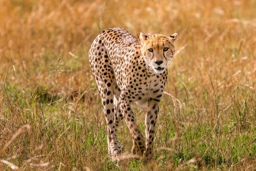 Young cheetah walking in savanna