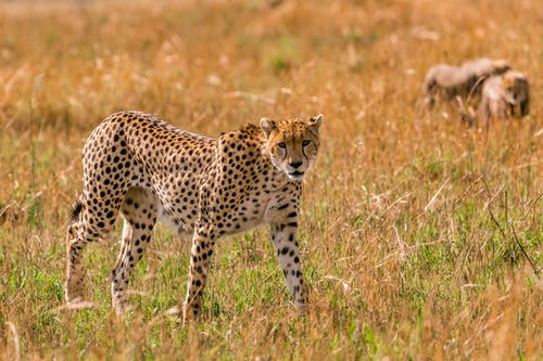 Female gracious cheetah hunting in savanna while little cubs playing around in summer