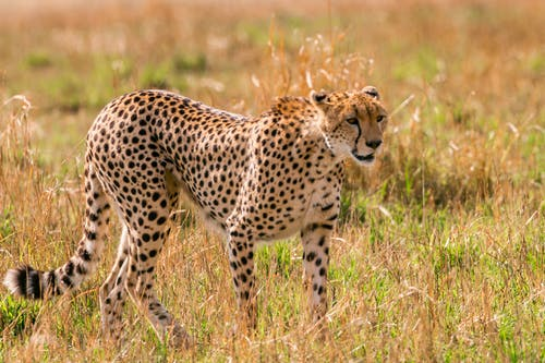 Wild cheetah hunting in savanna