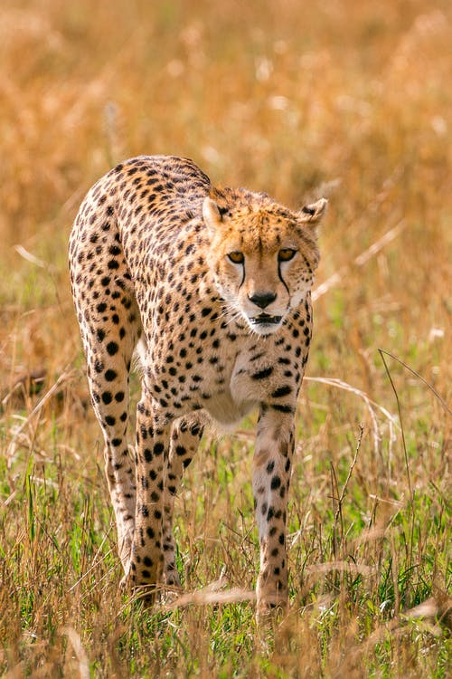 Gracious and strong spotted cheetah looking for prey while hunting in savanna in daytime