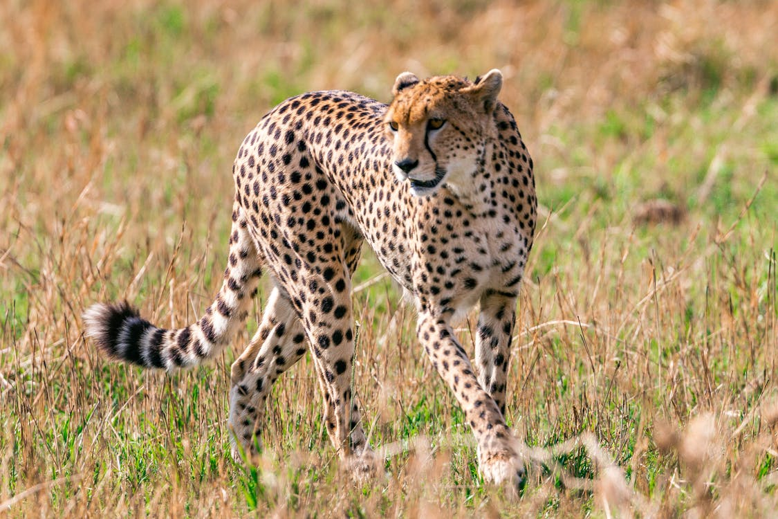 Wild cheetah with spotted fur walking on savanna looking for prey in daytime