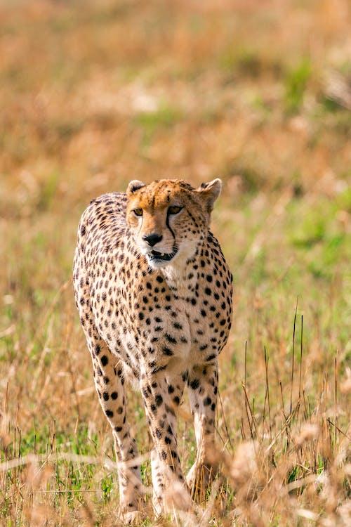 Cheetah walking in savanna in daytime