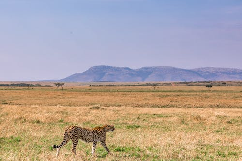 Side view of gracious cheetah walking on dry yellow grass in savanna in sunny day