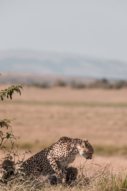 Female cheetah with cubs in grassland part of savanna