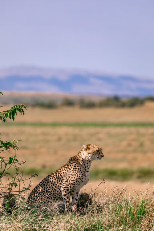 Side view of mother cheetah with spotted coat sitting on grass in savanna with little cubs