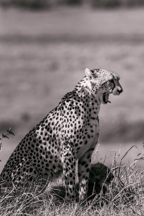 Foto stok gratis alam, alami, anak singa
