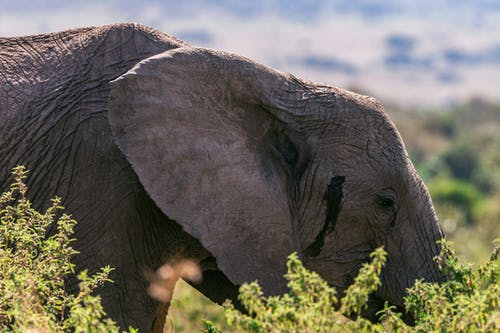 Side view of big wild elephant near green bushes and trees in savanna in sunny day