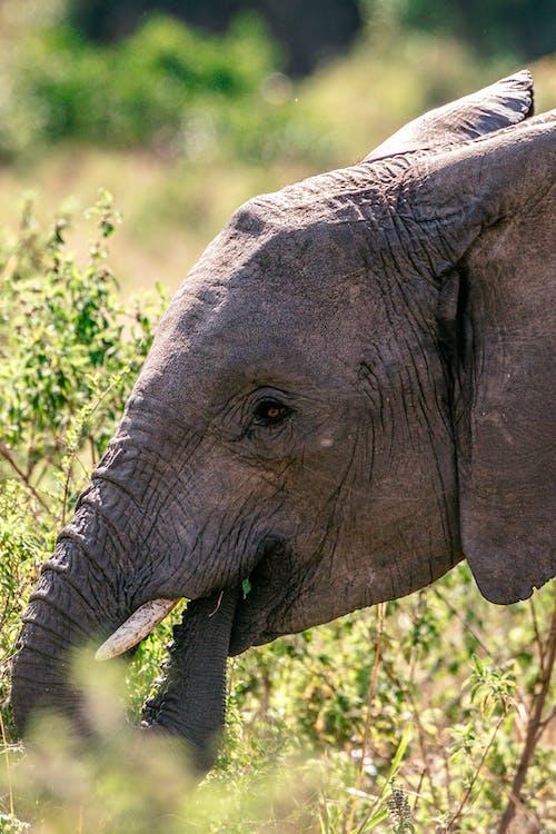 Big elephant in grassland in summer