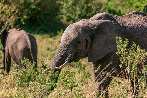 Female elephant and baby elephant grazing in grassy savanna in sunny summer day