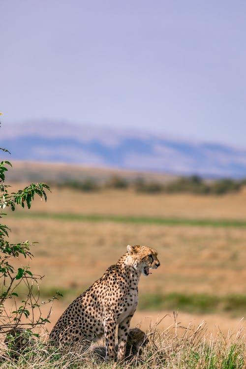 Cheetah and cubs in savanna