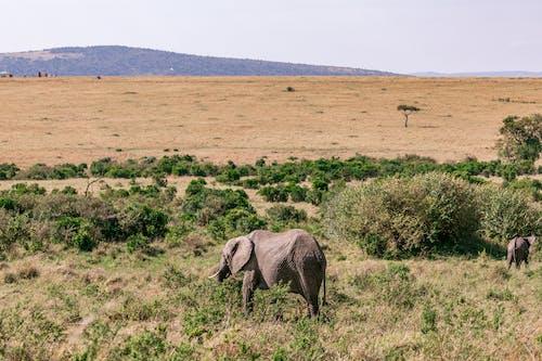 Elephants walking in grassland in daytime