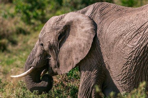 Elephant grazing in green terrain in summer