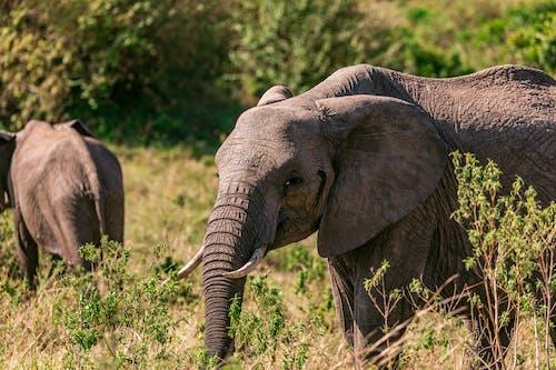Elephants strolling in grass in daytime