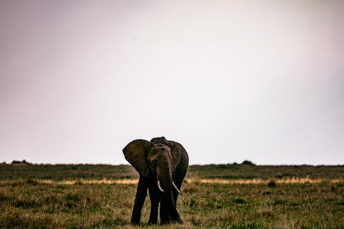Big elephant pasturing on dry grassy meadow under clear gray sky in savanna