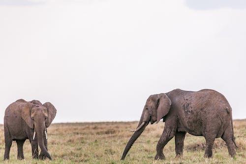 Herd of wild elephants strolling in savanna on grassy field in summer day under clear gray sky