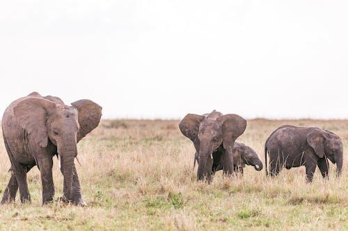Wild elephants herd strolling through grassy meadow in savanna in daylight under clear sky