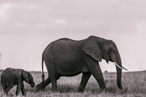 Elephants pasturing in nature on meadow