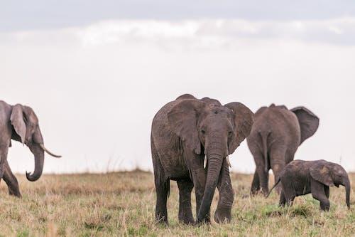 Herd of wild elephants walking through savanna on field on grass in summer day under gray sky