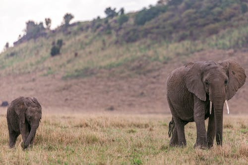 Mother elephant with elephant calf walking in grass in savanna on field near hill