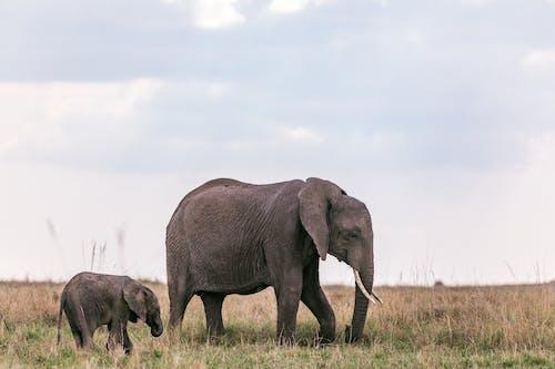 Elephants strolling on field in nature