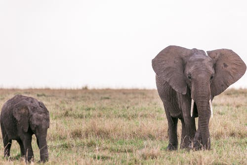 Gray big exotic elephant with calf walking on grassy terrain in savanna against cloudless sky in preserve area in Africa