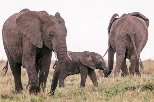 Elephants grazing in savanna with baby
