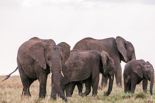 Wild elephants grazing in pasture