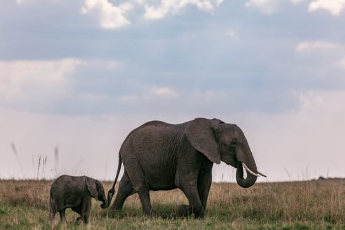 Wild elephant with tusks grazing in nature on grassy field with calf against cloudy sky in national park in Africa