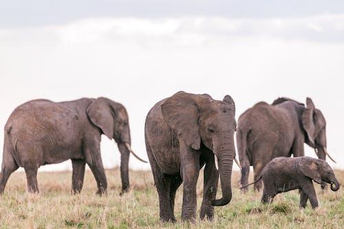 Herd of wild massive elephants grazing in grassy savanna looking for food in daytime