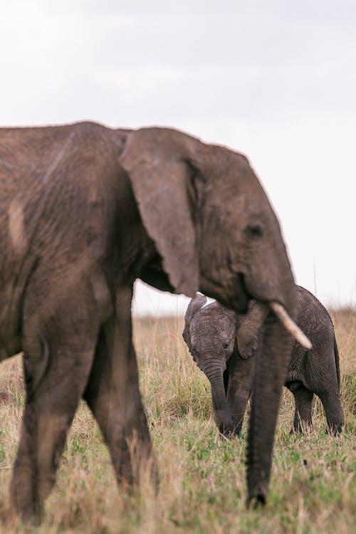 Elephants looking for food in savanna