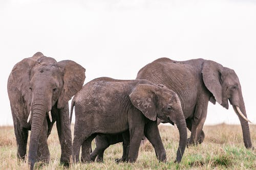 Massive wild elephants with long trunks and spotted skin standing in grassland in summer