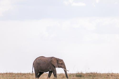 Small wild elephant in grassland
