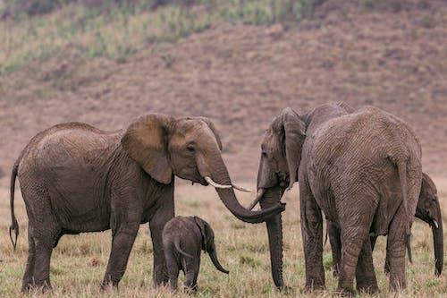 Elephants standing near big hill in savanna
