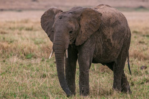 Massive wild elephant with long trunk and spotted skin walking in savanna looking for food
