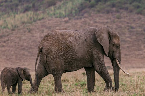 Side view of mother elephant with baby walking through dry grass in savanna