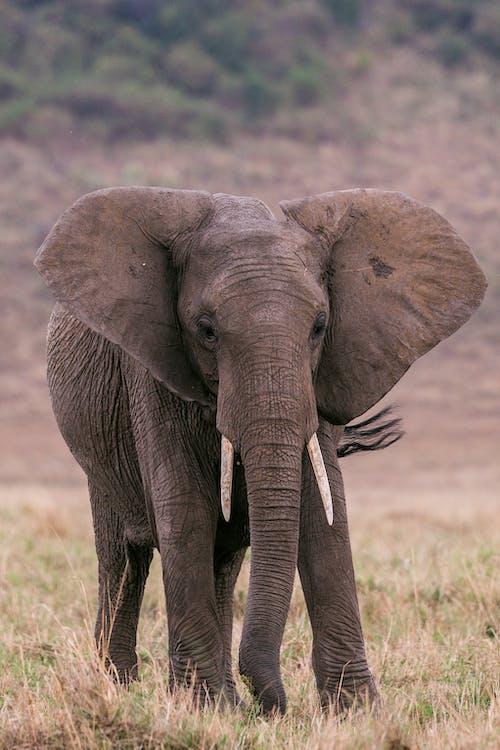 Elephant standing in pasture in savanna